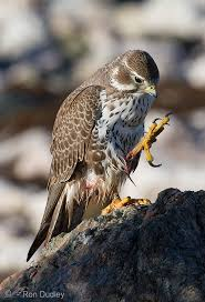 Falcons Talon